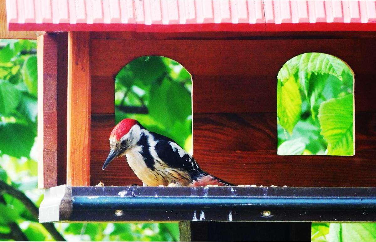 Mittelspecht im Vogelhaus.