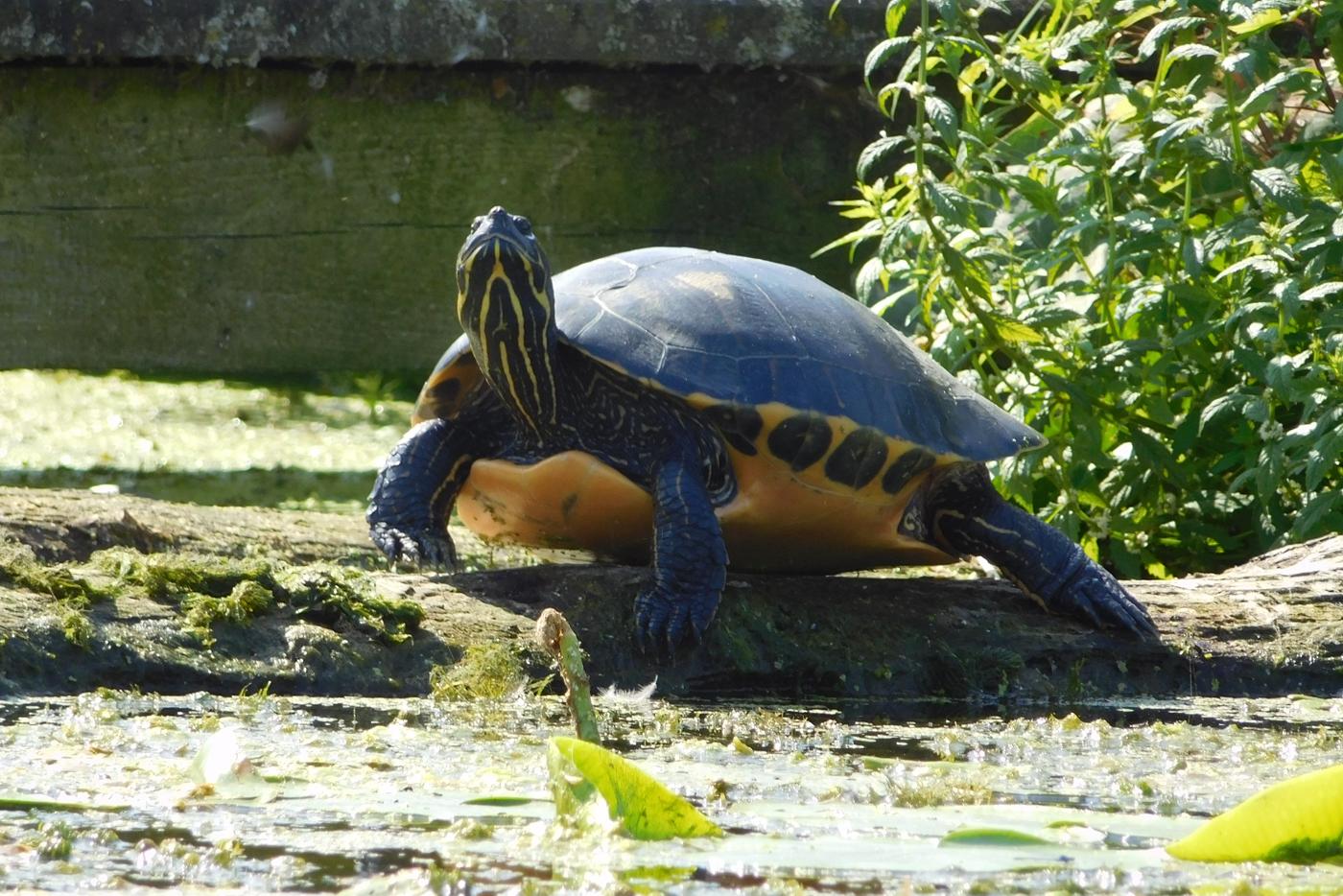 Wasserschildkröte sonnt sich am Templiner Kanal.