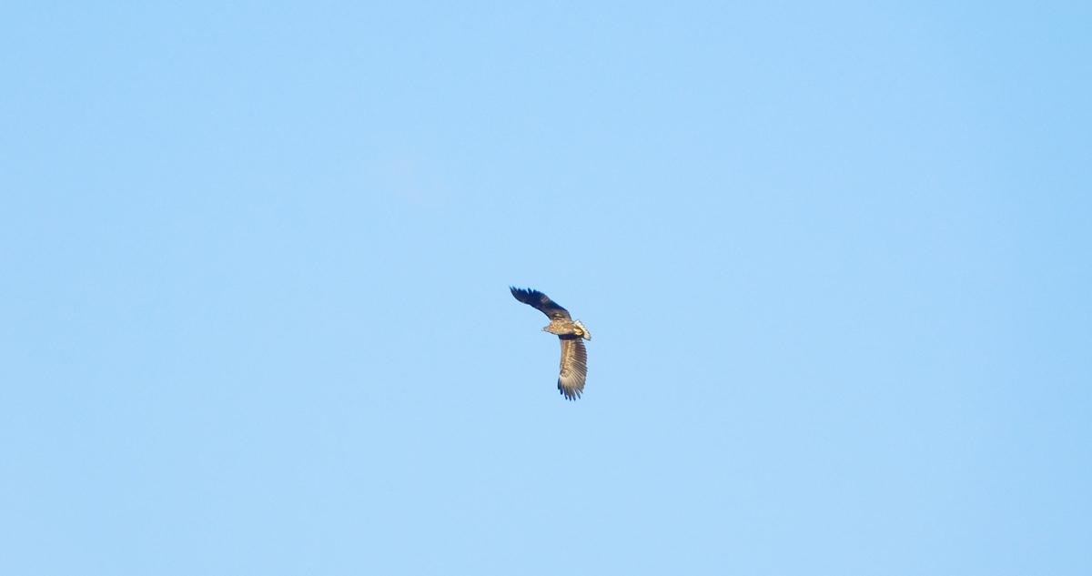 Seeadler hoch über dem Templiner Kanal.