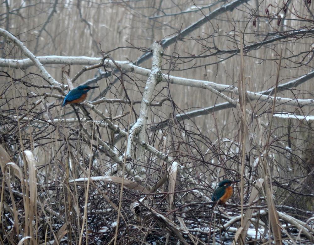 Eisvögel am Templiner Kanal.