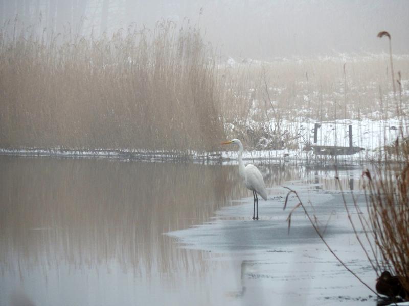Silberreiher am Templiner Kanal.