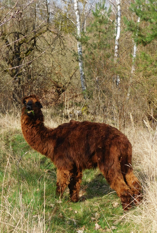 Alpaka: Ein entlaufener Exot am Fahrradweg.