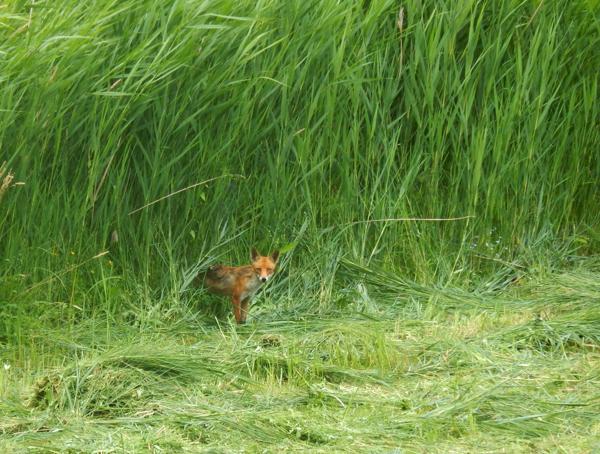 Ein Fuchs auf Jagd auf unserer frischgemähten Wiese.