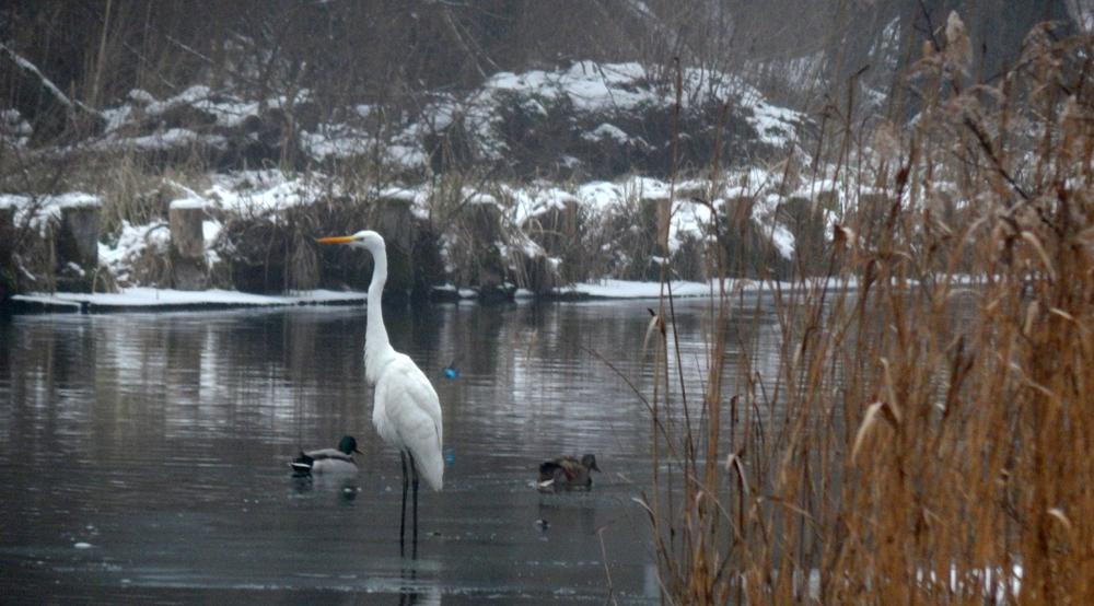 Silberreiher am Templiner Kanal (Eisvögel flitzen durchs Bild).