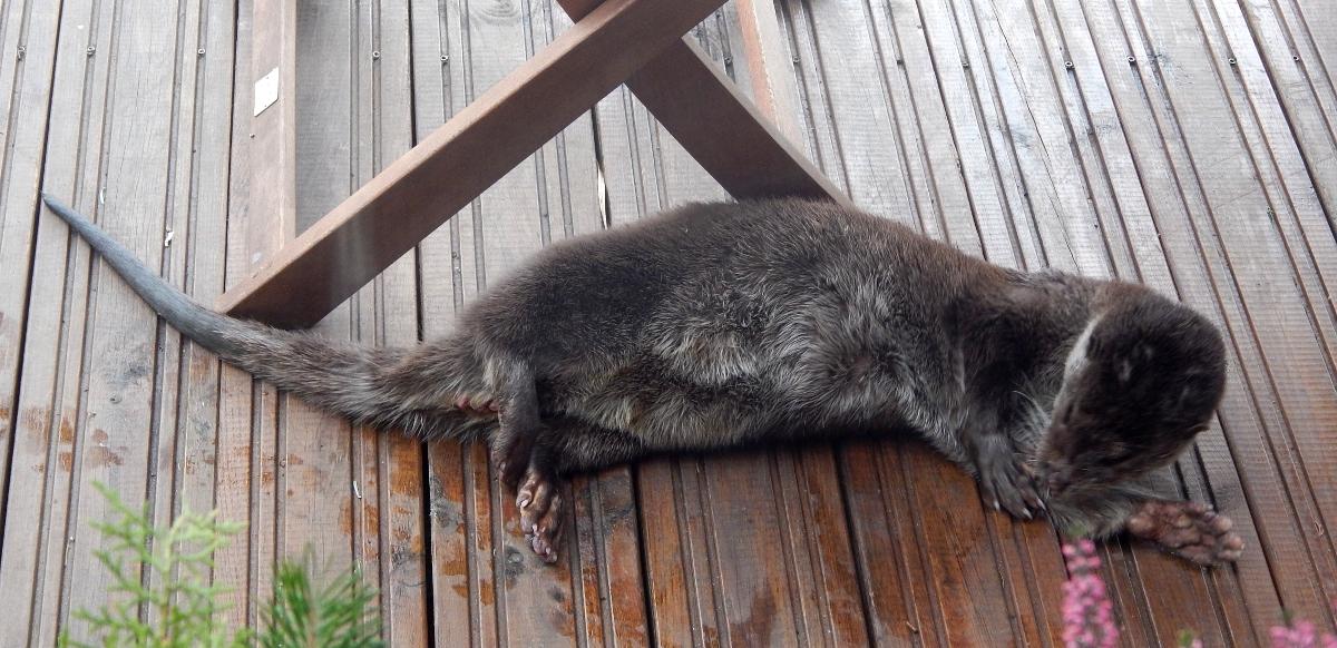 Ein Fischotter putzt sich auf unserer Terrasse.