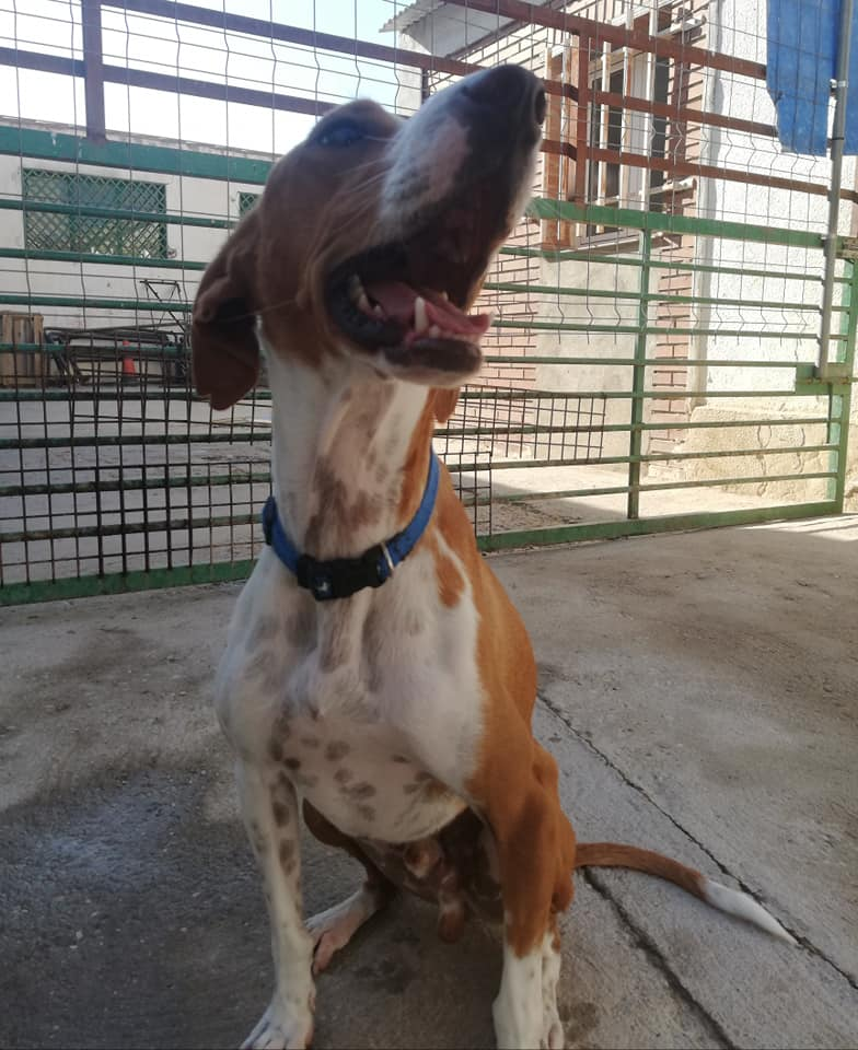 MARVEL - 2 ans - podenco - affectueux, sociable