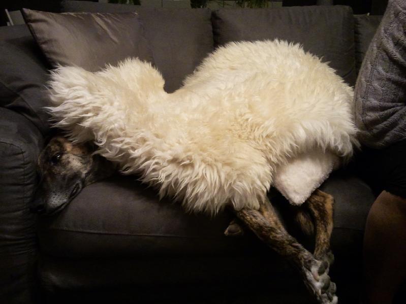 Qui suis je ? une galga ? un mouton ? lol... Non je suis juste chaudement emmitouflée... BAMBINA