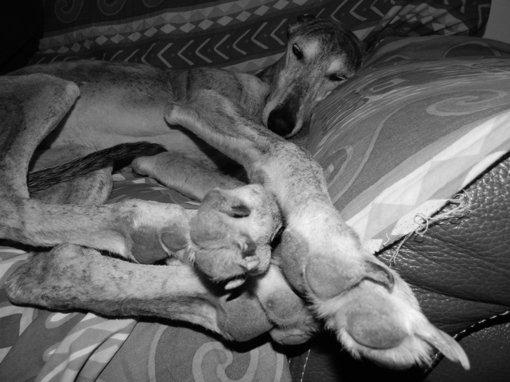 La dure vie du galgo sur le canapé !