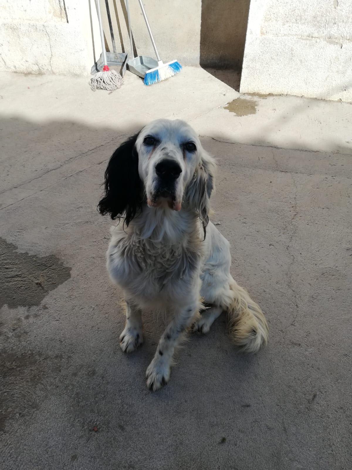 TUCKER - 14 ans - setter anglais - un amour de chien