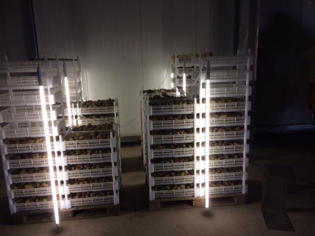 """Annabel ist in lichtdurchlässigen Vorkeimkisten warm gestellt. Dadurch wird die Keimbereitschaft gefördert. """"Light Show""""  Durch die 360' Leuchten werden die Keime kräftig und robust"""