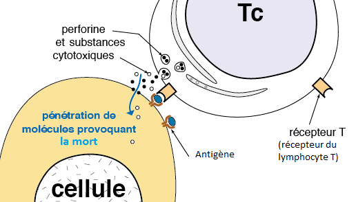 Détails de la reconnaissance et de la destruction d'une cellule infectée par un virus grâce à la liaison récepteur T-Antigène. Source: forum national de SVT.
