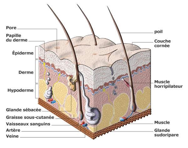 Schéma d'une coupe transversale de peau.