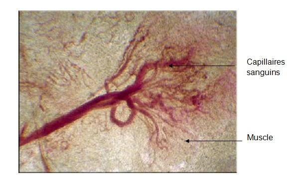 Observation microscopique de capillaires sanguins au niveau d'un muscle. Cette photo prouve que nos organes sont tous irrigués par des capillaires !