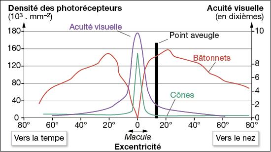 Acuité visuelle (violet) et répartition des photorécepteurs dans la rétine. Source : modifié de SVT, Nathan, 2010 p40.
