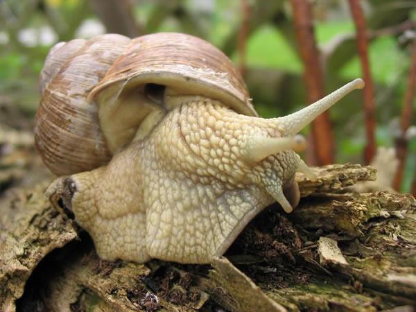 Escargot de Bourgogne avec son pneumostome ouvert. Source: