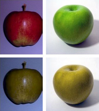 En haut: couleurs naturelles des pommes. En bas, couleur des fruits vue par un daltonien. (Sources photos: wikipedia)