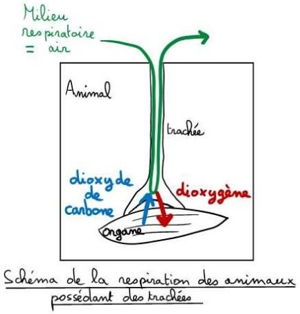 Schéma-bilan du fonctionnement des trachées d'insectes.