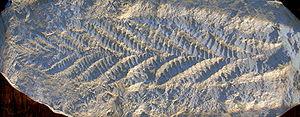 Moule de Charnia, le premier organisme complexe du Précambrien reconnu en tant que tel. Il fut un temps rattaché au groupe des pennatules.Source: wikipédia.