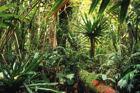 Photo du sous-bois d'une forêt Guyanaise actuelle. Source: ONF