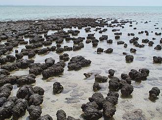 La baie Shark en Australie est un des très rares endroits du monde à abriter encore des stromatolithes en développement actif. Source: wikipédia