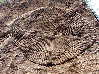 Dickinsonia costata présente l'aspect molletonné caractéristique de la faune de l'Édiacara. Source: wikipédia.