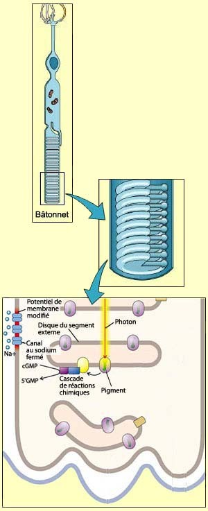 Trasnduction du signa lumineux. Source: le cerveau à tous les niveaux. Cliquez sur l'image pour y accéder.