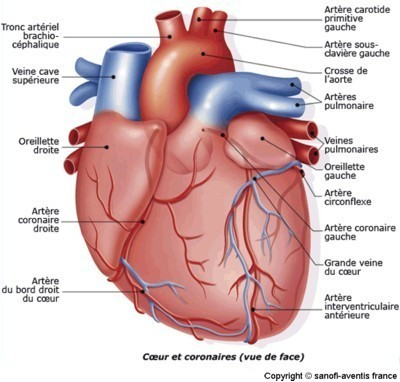 Schéma plus détaillé de l'anatomie externe du coeur. Source :