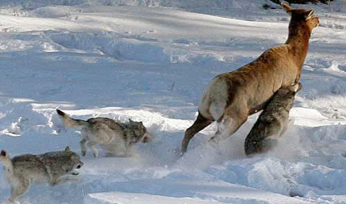 Une biche prise en chasse par 3 loups. Elle ne s'en sortira pas. Source: http://le-regne-animal.over-blog.com/tag/cerfs%20biches%20chevreuils/