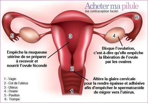 Lieux d'action de la pilule contraceptive. Source : http://jenetrouvepasdetitre.skyrock.com/