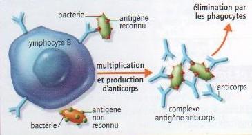 Reconnaissance, prolifération et destruction d'une bactérie par un lymphocyte B. Source: SVT, Bordas, 2008.