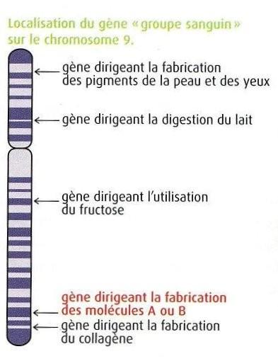 Schéma du chromosome n°9 humain. Sources: http://svtaucollege.wifeo.com/classe-de-3eme.php