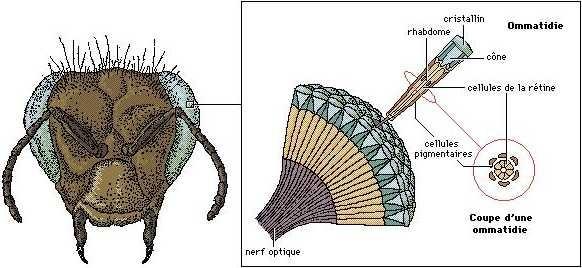 Tête de libellule et détails à droite d'un oeil composé de nombreuses ommatidies.