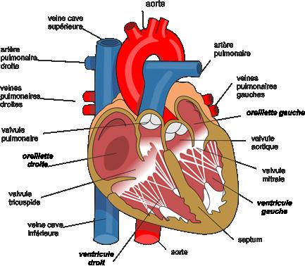 Coupe longitudinale du coeur d'Homme.
