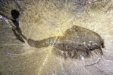 Des animaux du Cambrien comme Waptia auraient pu entrer en compétition ou se nourrir des formes de vie de l'Édiacarien.