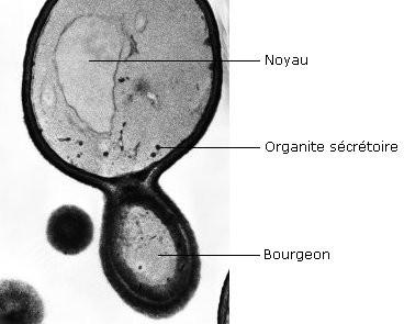 Une levure en bourgeonnement. Source: site de recherche allemand.