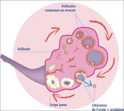 Schéma d'un ovaire montrant le développement des follicules à l'origine de la création d'un ovule.