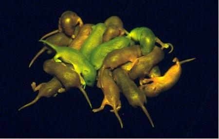 Souris d'une portée dont certaines sont fluorescentes. C'est de cette portée que sont issues les souris étudiées ici.