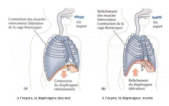 Mouvement ventilatoire chez l'Homme.
