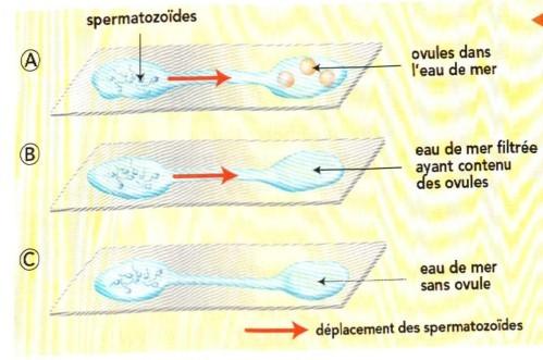 Expérience prouvant le mécanisme de chimiotactisme chez l'oursin. Sources: