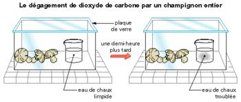 Mise en évidence de la respiration des champignons. Sources: internet, cliquer sur le lien (maxicours ?)