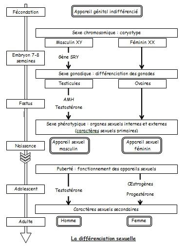 Schéma-bilan détaillé de la différenciation sexuelle. Source : cliquer sur le schéma.