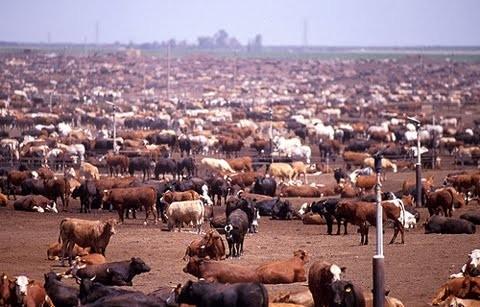 Feedlot (parc à engraissement) de bovin près de Bakersfild, Californie, USA. Source : wikipédia.