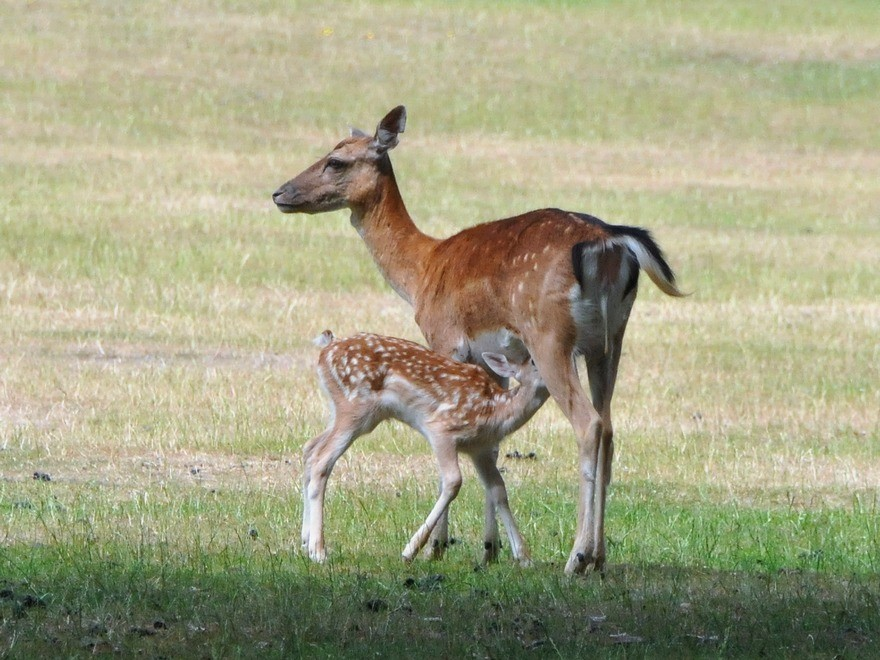 La biche allaitant son faon. Source: http://le-regne-animal.over-blog.com/tag/cerfs%20biches%20chevreuils/