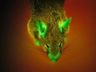 Souris à oreilles et museau fluorescent. Source: internet.