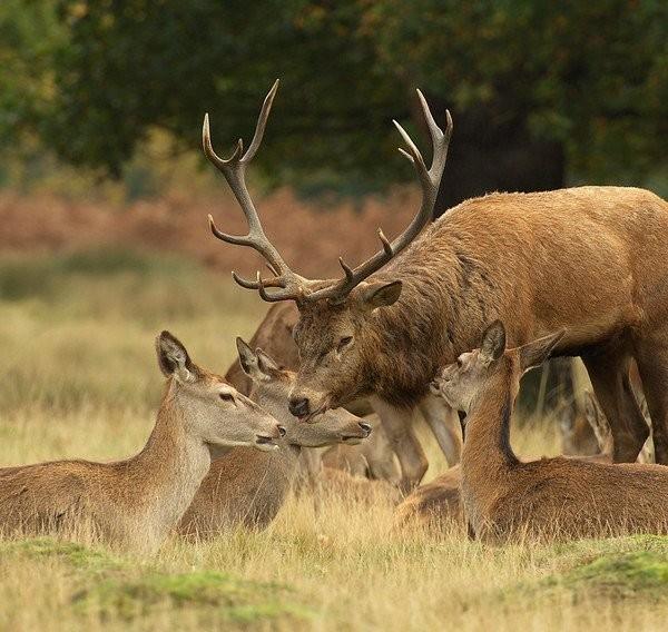 Le mâle dominant au milieu de ses femelles.