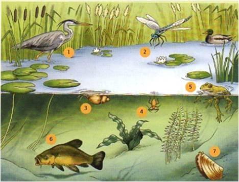 1 : Héron cendré (vit sur terre, respire dans l'air)  2 : l'Aeschne bleue (vit sur terre, respire dans l'air)  3 : Limnée (vit dans l'eau, respire dans l'air)  4 : Nèpe (vit dans l'eau, respire dans l'air)  5 : Grenouille (vit dans l'eau et sur terre)