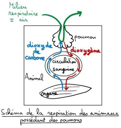 Schéma-bilan du fonctionnement des poumons.