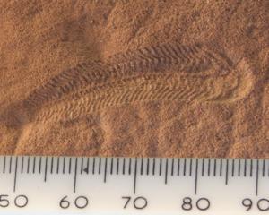 Spriggina, un possible précurseur des trilobites aurait pu être l'un des prédateurs ayant mené à la disparition de la faune de l'Édiacarien et à la diversification des animaux au Cambrien. Source: wikipédia.