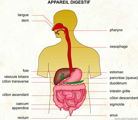 Appareil digestif de l'Homme. Source: le dictionnaire visuel.