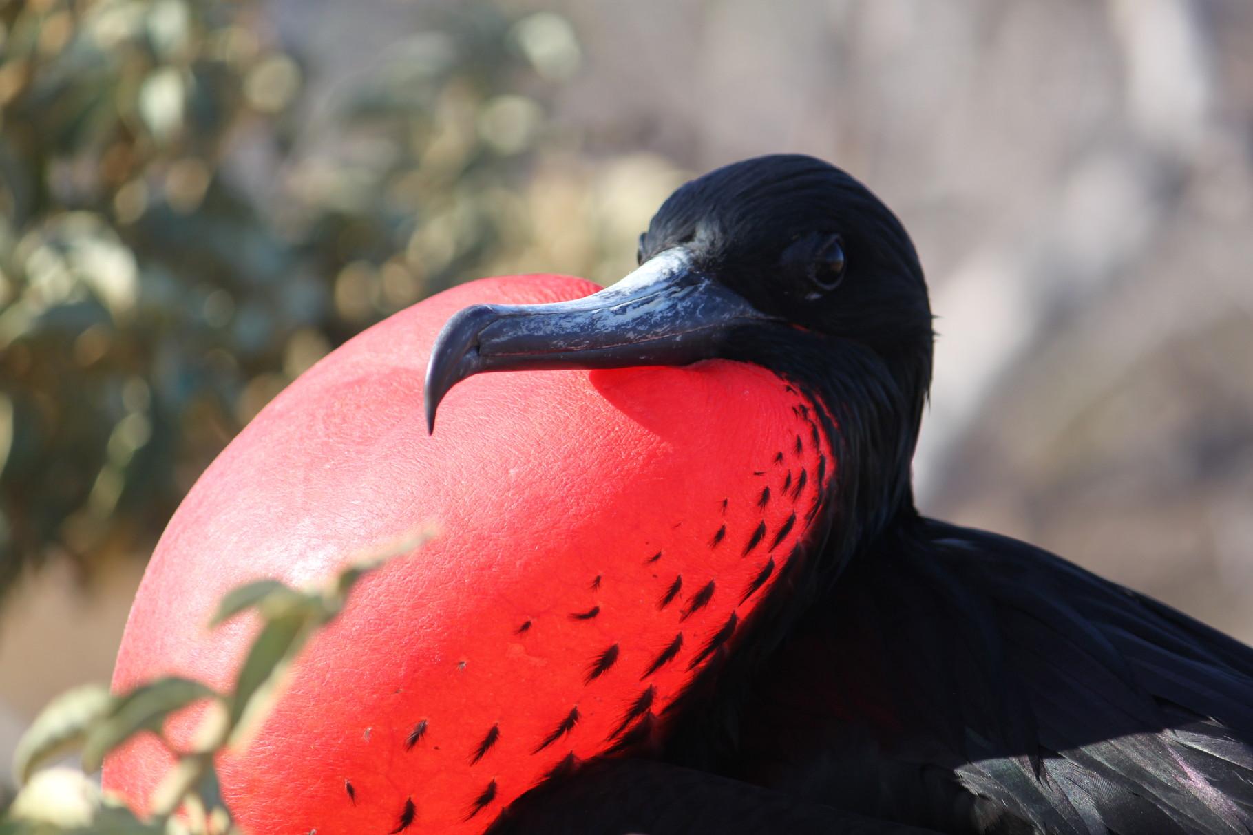 Galápagos Inseln: Balzendes Fregattvogel-Männchen auf der Insel Nord Seymour